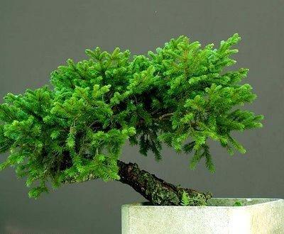 Растения для бонсай - 3 - искусство выращивания деревьев