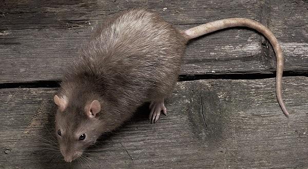 Сонник: к чему снится крыса, которая кусает и нападет и видеть во сне укус?